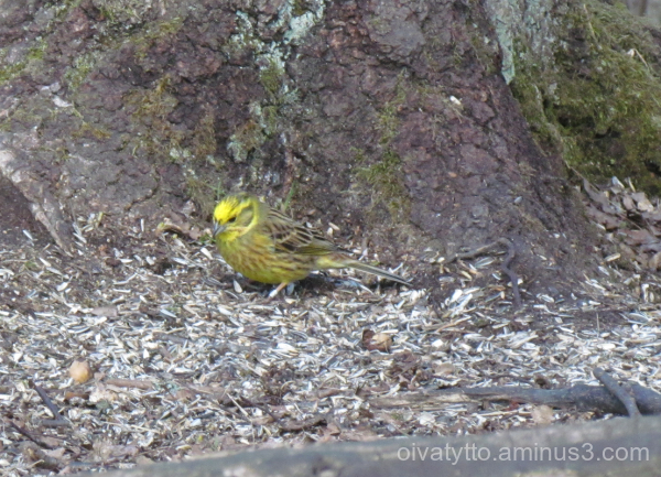 Yellowhammer/Emberiza citrinella
