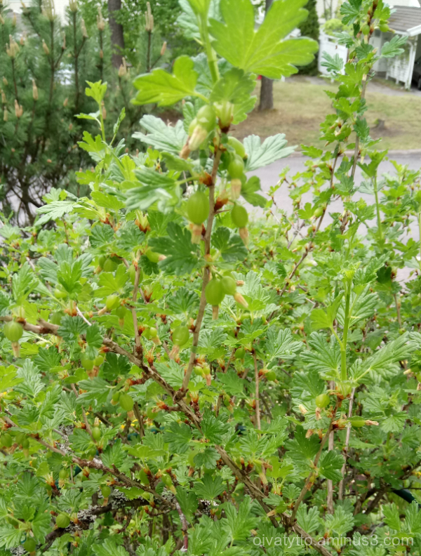 Gooseberry.
