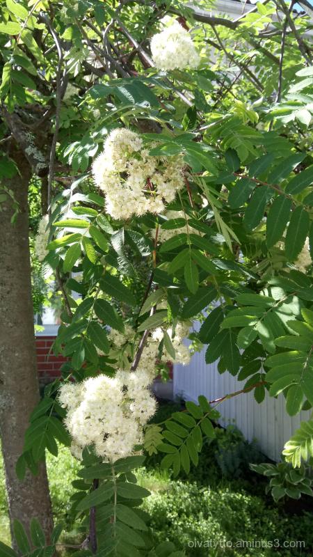 Rowan flowers.