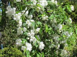 Railway apple tree /Malus hyvingiensis.
