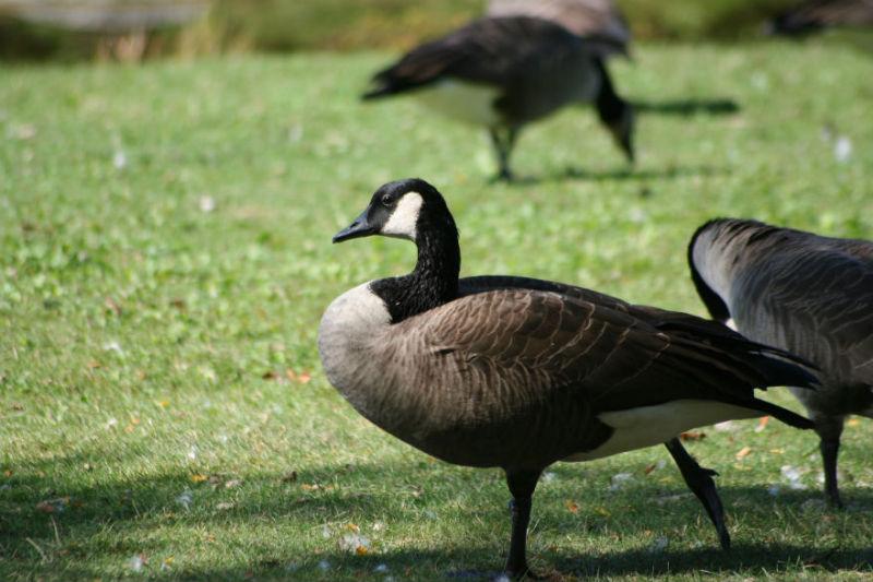 A quick shot of a Canada Goose.