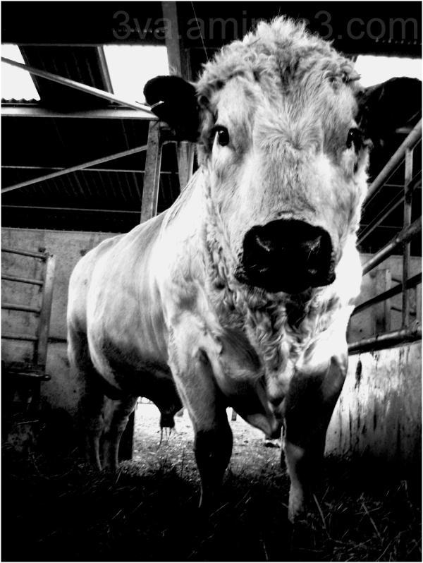 British bull