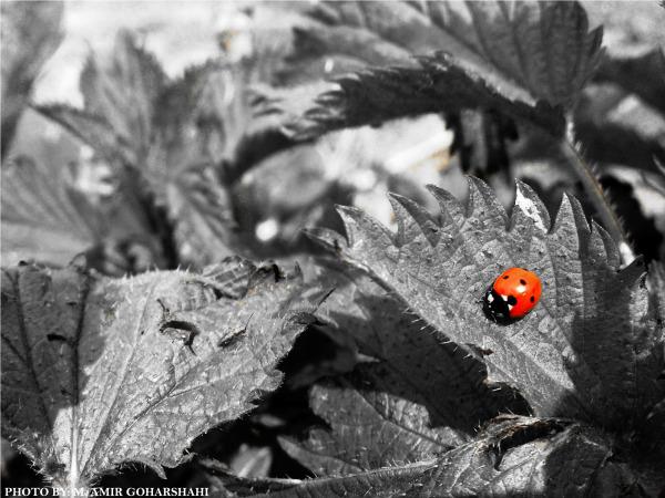 ladybug red wallpaper Amir Goharshahi