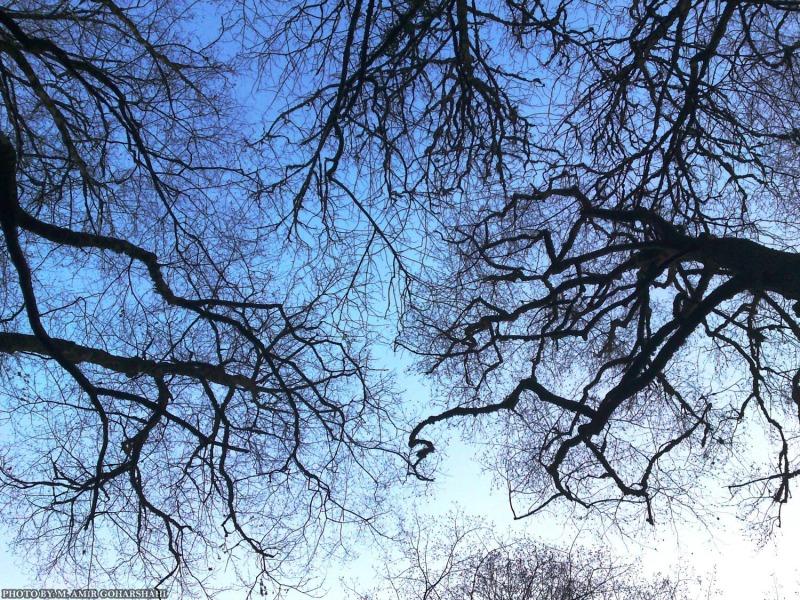 bald trees sky blue Amir Goharshahi