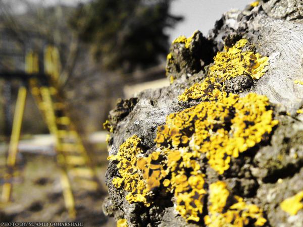 yellow old wallpaper tree Amir Goharshahi