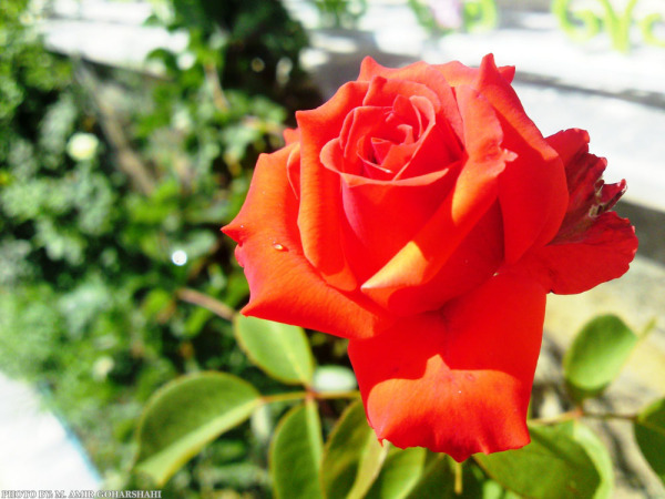 red rose flower wallpaper Amir Goharshahi
