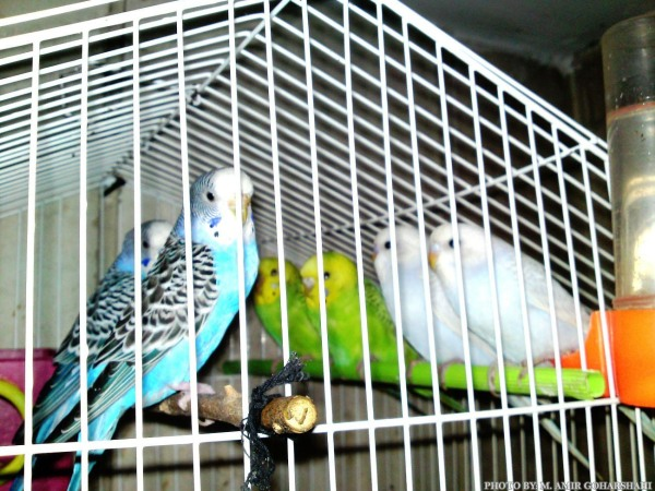 Budgerigar caged love together amir goharshahi