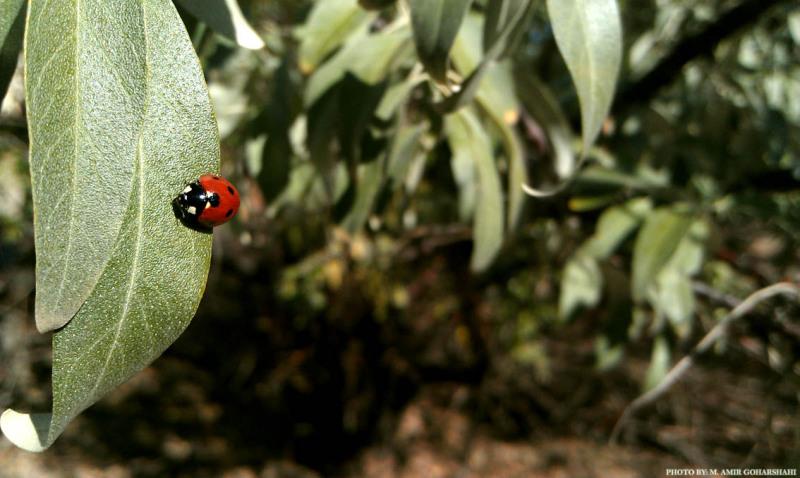 Ladybug wallpaper leaf Amir Goharshahi