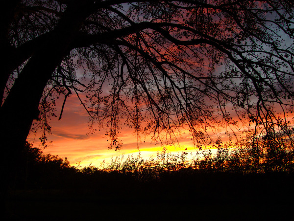 Sunset and a white poplar tree.