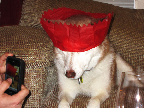 Dog, husky, humorous, hat, red.