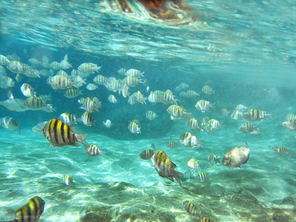 Tropical fish, snorkeling, sergeant majors.