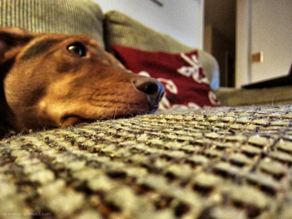 Dog, forlorn, sofa, eyes, Beagle, Jack Russell.