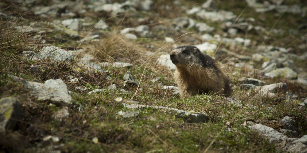 Mon amie la marmotte