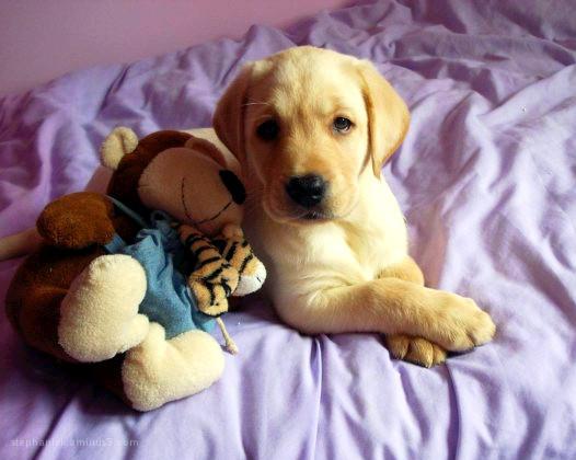 My Labrador Monty