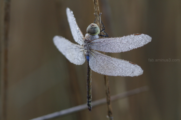 Anax ephippiger, morning