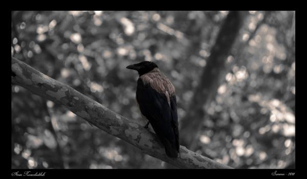 Raven ....