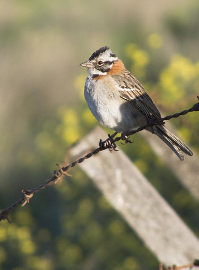 chingolito aves de argentina marianodearriba