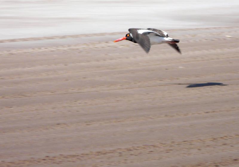 ostrero vuelo rasante orense marianodearriba