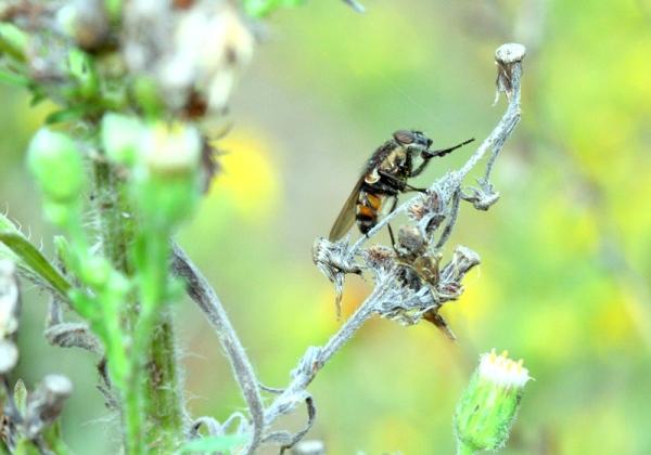 Mosca compartiendo polen con las abejas