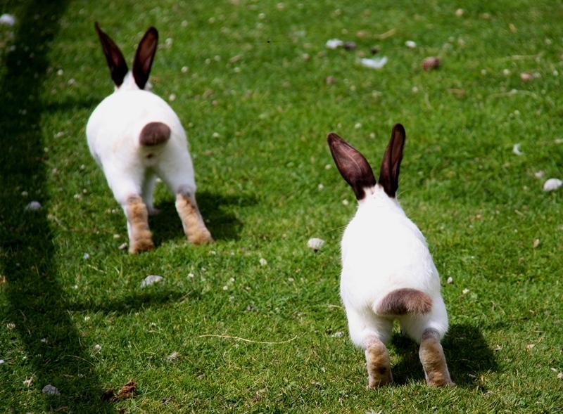 conejo rabbit
