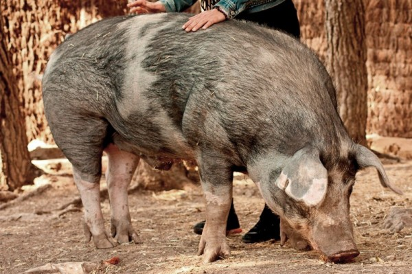 gatópolis pumba cerdo pig
