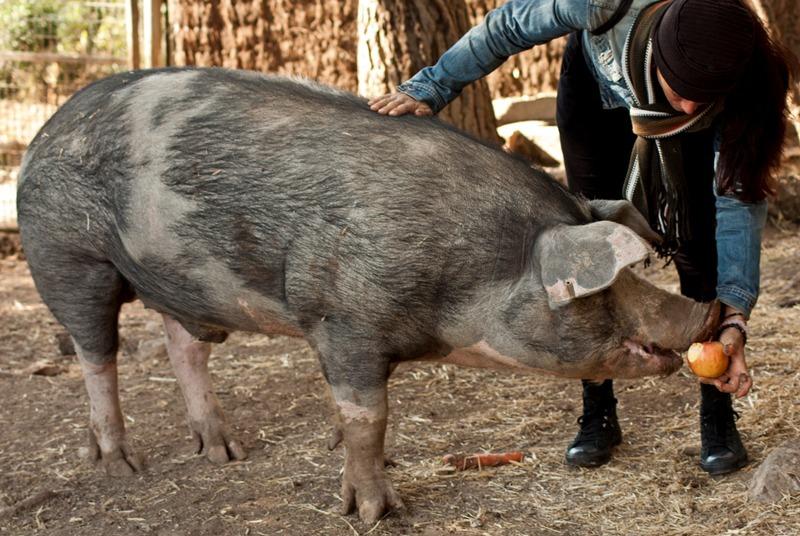canópolis gatópolis pumba cerdo pig