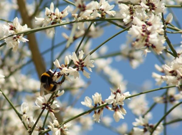 abejorro primavera almendro