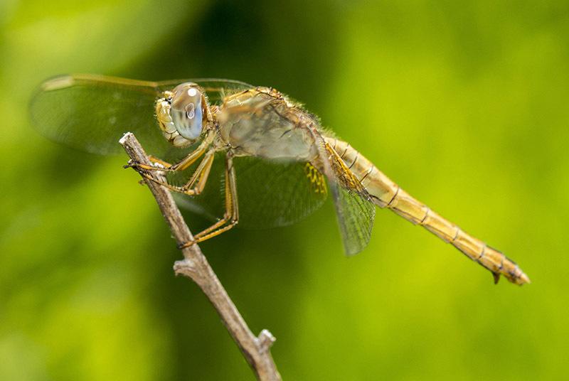 dragonfly libélula macro