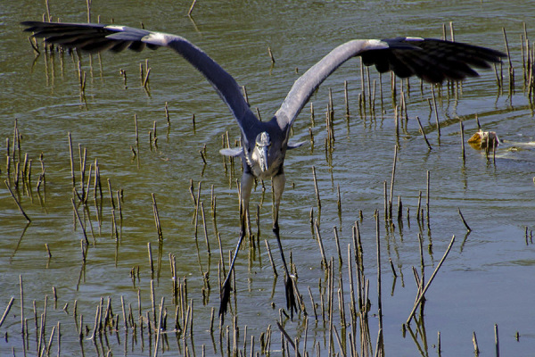 garza heron