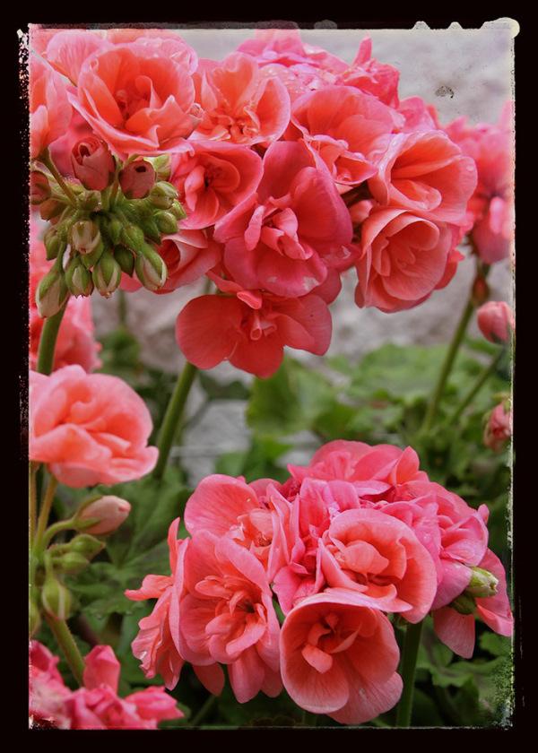 plant rosa flores