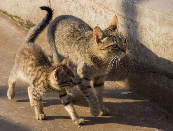 cat gato family