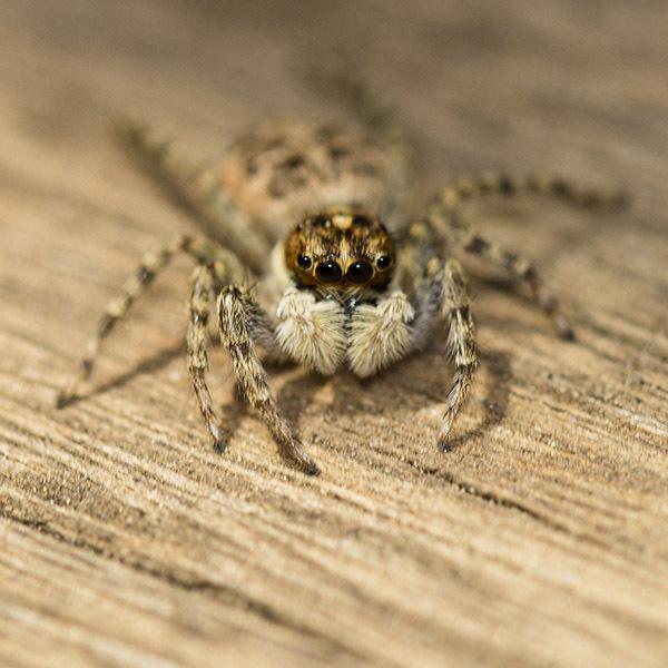 araña spider macro