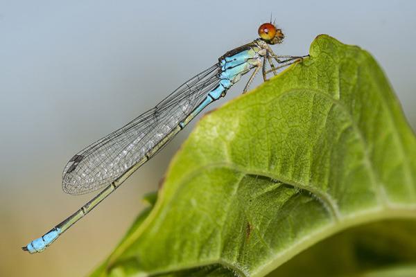 macro libélula dragonfly