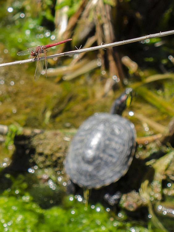 macro turtle tortuga libélula dragonfly