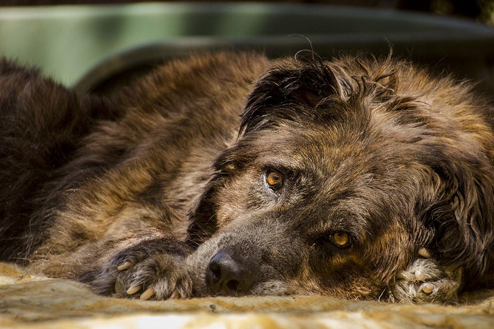 canopolis perro dog