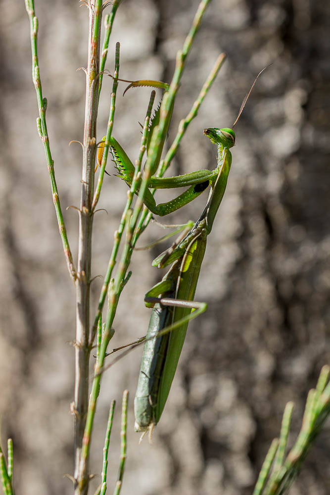 macro insect mantis
