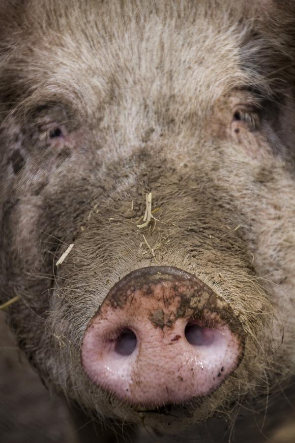 castelldefels canopolis porcs
