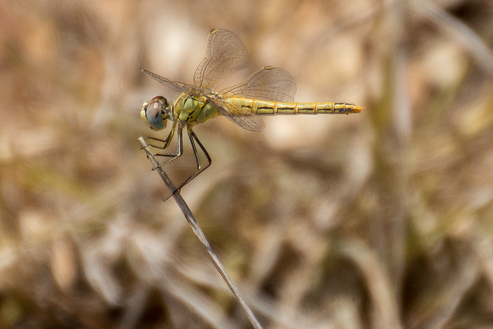 macro insect dragonfly