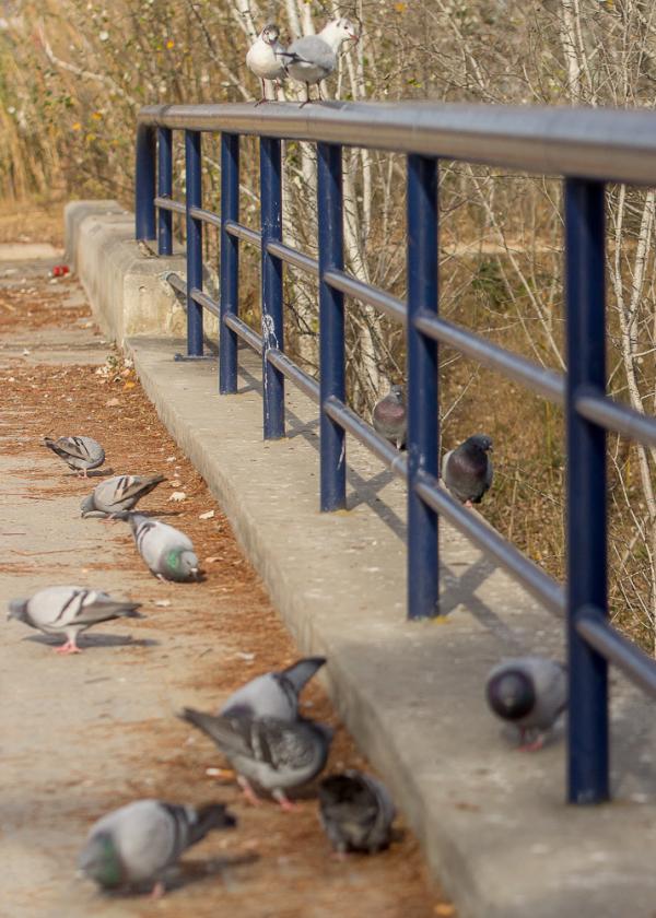 castelldefels dove seagull
