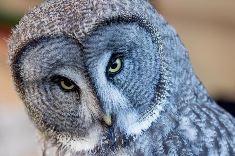 owl mercat medieval