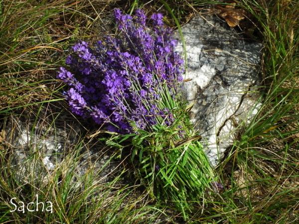 Bouquet de lavande   Provence