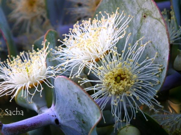 Fleurs d'eucalyptus # 1