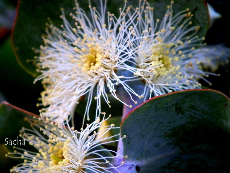 Fleurs d'eucalyptus #  2