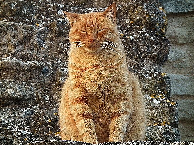 Le chat ..Pacha ! village de Goult Provence