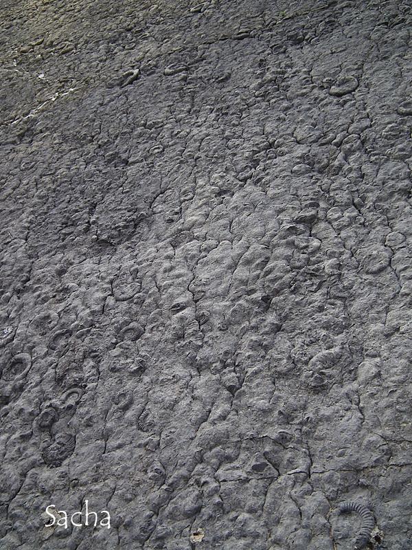 Dalle  à ammonites  fossiles :   Dignes les Bains