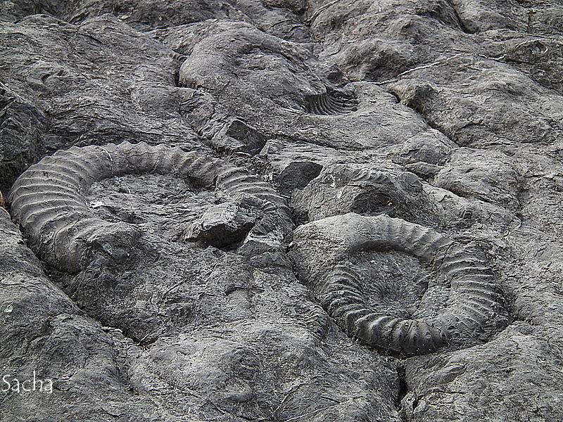 Ammonites fossiles  Dignes les Bains