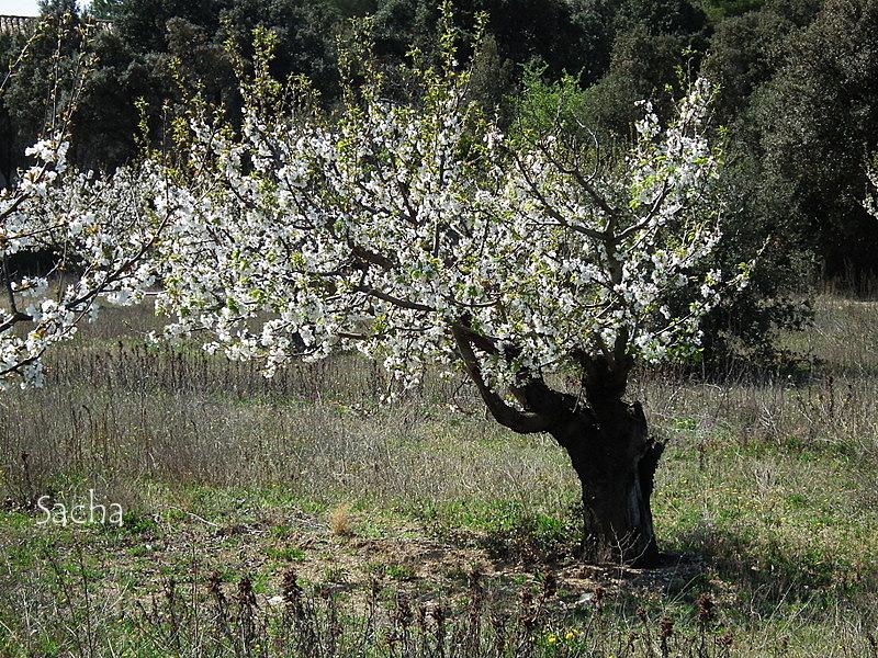 Cerisiers en fleurs village de Gordes # 2