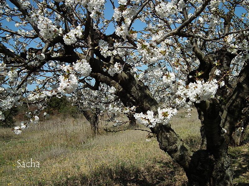 Cerisiers en fleurs village de Gordes # 3
