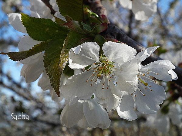 Fleurs de cerisier #  2