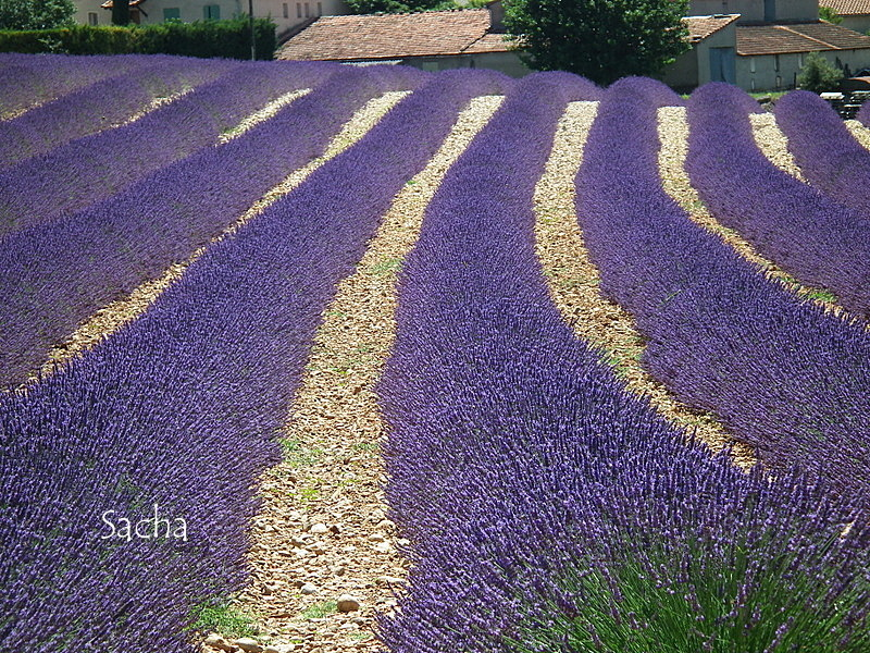 Lavande , plateau de Valensole Provence # 5